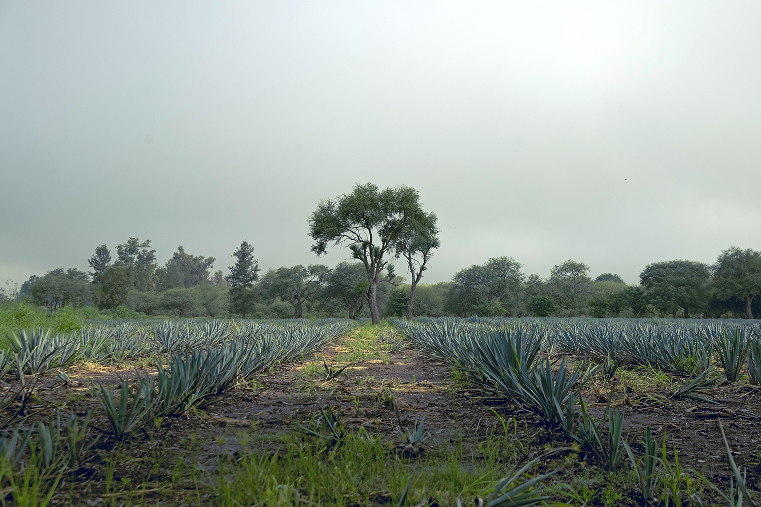 Gringos and Tequila- Theft or Appreciation, a Review.